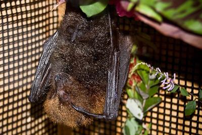 Fruit Bat (Flying Fox) © Nora Kramer. All rights reserved.