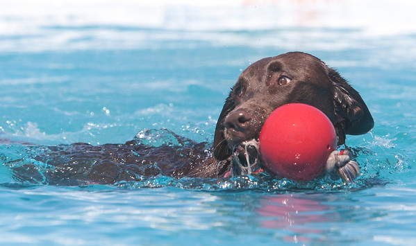 Record-Eagle/Douglas Tesner<br /> Bogie, 4, a chocolate lab, grabs his toy from the water during the Ultimate Air Dogs Contest at the National Cherry Festival.  Bogie is owned by Barb Degraeve.