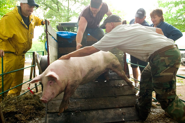 Record-Eagle photo/Jan-Michael Stump<br /> From left, Drew Alpers, Jason Nuemann and Lane Wildfong unload a 4-H pig.