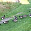 The pooper dooper geese.