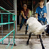 Record-Eagle/Keith King<br /> Ryan Popp, 11, of Lake Leelanau, walks with his sheep after receiving assistance from Jason Neumann, middle, of Traverse City, after the sheep was officially weighed Saturday, August 7, 2010 during the Northwestern Michigan Fair.