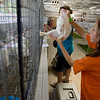 Record-Eagle/Keith King<br /> 4-H member Abigail Hockin, 11, of Traverse City, places her rabbit in its cage Saturday, August 7, 2010 as animals arrive for the start of the Northwestern Michigan Fair.