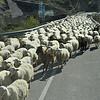 Đàn cừu gặp trên đường rời Barcelona đi Montserra. Những con dê đi bên cạnh có nhiệm vụ hướng dẫn đàn cừu không để một con nào đi lạc.