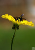 bees workthe bee works hard on flower of loofah hard on flower of loofah