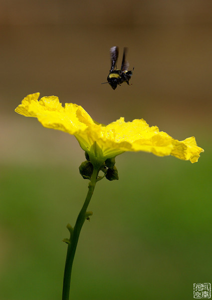 the bee works hard on flower of loofah