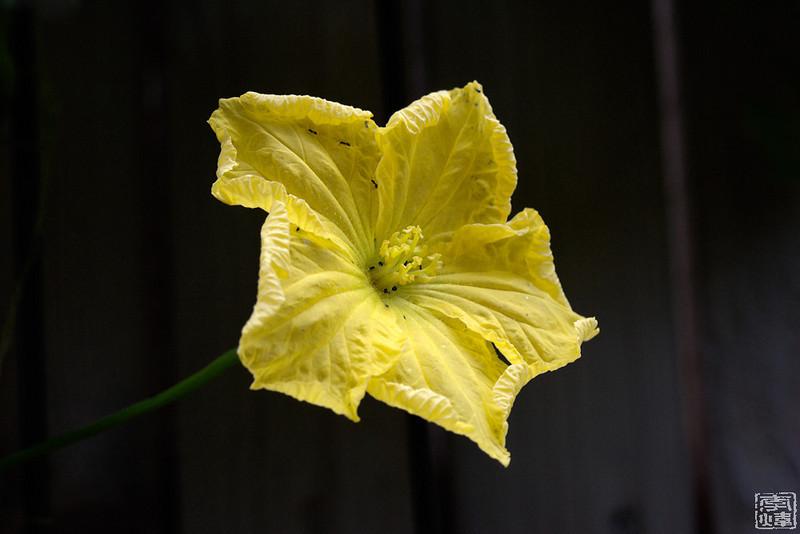 male flower of loofah