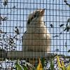 Kookaburra at the zoo (we also saw them wild at the Botanic Gardens)