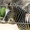 Zebra (a picture for Sarah :)