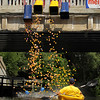 Record-Eagle/Keith King<br /> Rubber ducks are dropped into the Boardman River from the Union Street bridge near Hannah Park Thursday, July 7, 2011 for the Traverse City Optimist Club Boardman River Duck Race. Funds raised through the race are planned to go for youth charities.