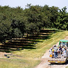 Record-Eagle/Jan-Michael Stump<br /> A tractor pulls a wagon full of visitors through an orchard at the Northwest Michigan Horticultural Research Station, operated by Michigan State University, during Friday's Cherry Connection: Bringing Together Festival, Farm and Fruit Friday at