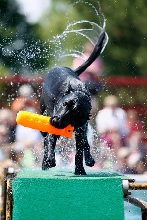Record-Eagle/Jan-Michael Stump<br /> Zach, owned by Carlee and Casey Allen (cq) of Frederic, shakes off after a leap in the Ultimate Air Dogs competition at the National Cherry Festival.