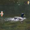 Record-Eagle/Keith King<br /> A duck swims in the Boardman River as rubber ducks float with the current toward the finish line Thursday, July 7, 2011 during the Traverse City Optimist Club Boardman River Duck Race. Funds raised through the race are planned to go for youth charities.