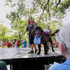 Record-Eagle/Keith King<br /> Ariana Shokoohi, 9, of Saginaw, walks her Newfoundland dog, Mudge, as the two are dressed in diving-themed apparel Tuesday, July 5, 2011 during the pet and owner look-a-like portion of the National Cherry Festival Kids' Pet Show at F & M Park.
