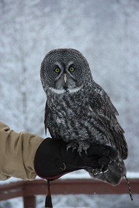 Gandalf the Great Gray Owl enjoying the weather.