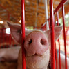 Record-Eagle/Jan-Michael Stump<br /> A pig from The Beef and Bacon Bunch 4-H Club  hangs out in it's pen as livestock arrives Saturday for this week's Northwestern Michigan Fair.