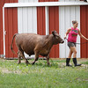 Record-Eagle/Jan-Michael Stump<br /> Stacey Sieffert, 15, takes Nicklas for a walk as livestock arrives Saturday for this week's Northwestern Michigan Fair.