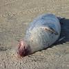 Deze zeehond wachtte niet voor het stoplicht dat op rood stond bij de zeehondenoversteekplaats en werd het slachtoffer van een noodlottig ongeval.<br /> Lenie 't Hart in ingeschakeld om nader onderzoek te doen naar de toedracht.
