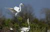 landing skill, egret