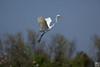 take off, egret