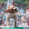 Record-Eagle/Jan-Michael Stump<br /> Sir Duke, owned by Tia Barbera of Traverse City, shakes off after a practice leap for Thursday's Ultimate Air Dogs Competition at the Open Space. The event finals will be Saturday at 3 p.m.