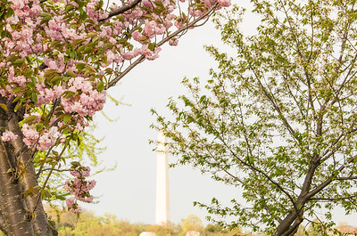 Washington Monument at National Cherry Blossom Festival 2012