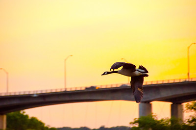Duck flying over the James at sunset
