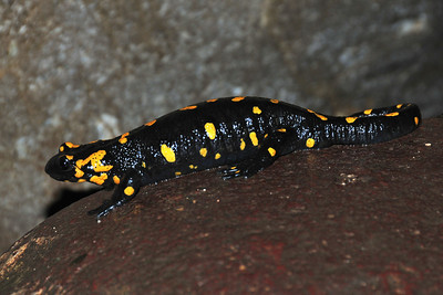 Cute little Feuersalamander in the gorge