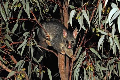 A possum near our campsite