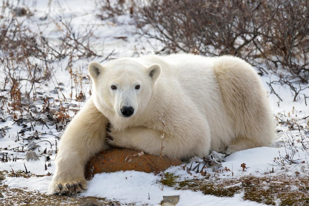 Polar bear, Churchill Mb.