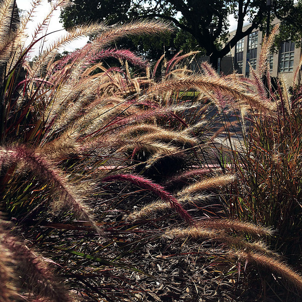 Sunset with Rubrum fountain grass.