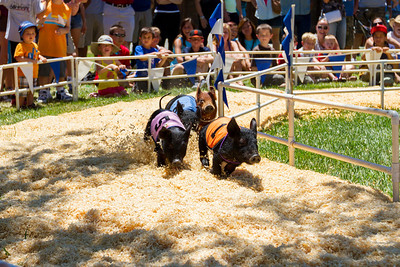 All Alaskan Pig Racing. Alameda County Fair 2013 - Pleasanton, CA, USA