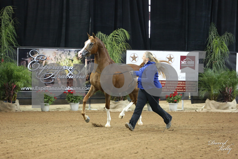 2013 Arabian Breeder Finals