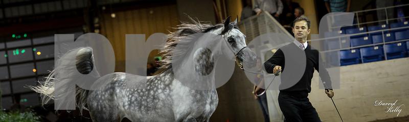 Class 18 4&5 yr old Stallion