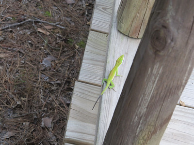 We had two lizards that patrolled the sides of the pier. We named them Mr. Right and Mr. Left. This is Mr. Right. He changed colors from green to brown while we were watching him.