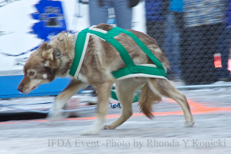 2013 IFDA Weight Pull<br /> March 16 Downtown Fairbanks<br /> 13ULMarch_44 --- Taos with handler Lucy