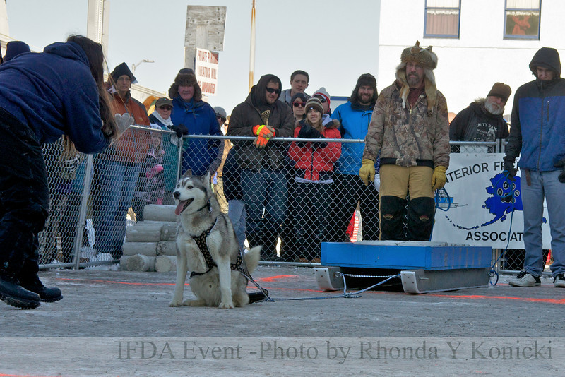 2013 IFDA Weight Pull<br /> March 16 Downtown Fairbanks<br /> 13ULMarch_96 Shadow with handler Wendy