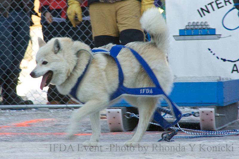 2013 IFDA Weight Pull<br /> March 16 Downtown Fairbanks<br /> 13ULMarch_74 --Thor with handler Dan