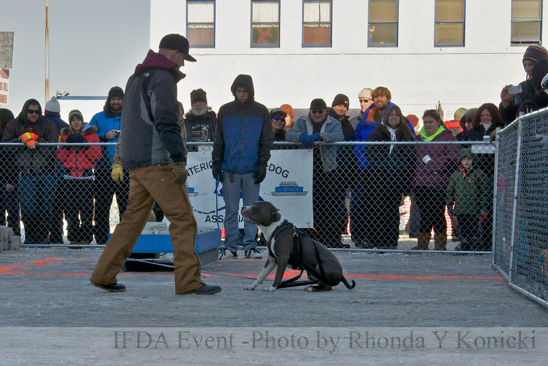2013 IFDA Weight Pull<br /> March 16 Downtown Fairbanks<br /> 13ULMarch_104 --- Roger with handler Nick
