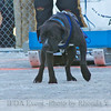 2013 IFDA Weight Pull<br /> March 16 Downtown Fairbanks<br /> 13ULMarch_56 --- Loki with handler Liz