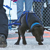 2013 IFDA Weight Pull<br /> March 16 Downtown Fairbanks<br /> 13ULMarch_48 --- Loki with handler Liz