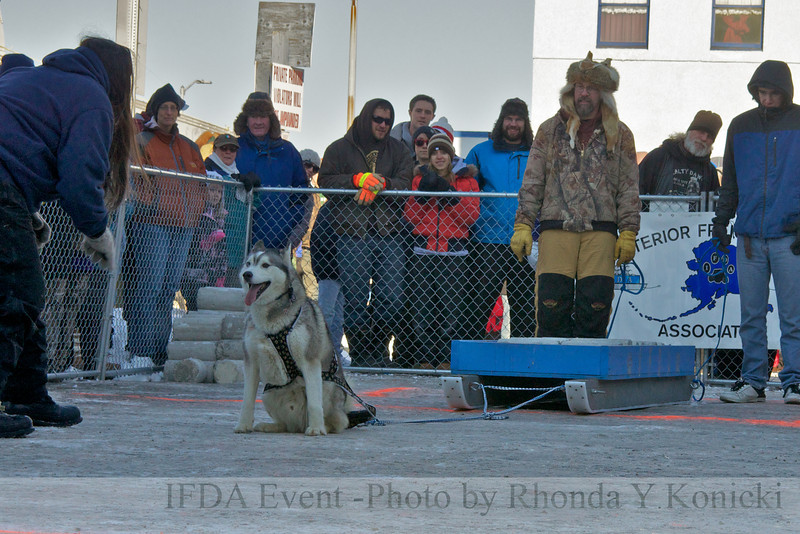 2013 IFDA Weight Pull<br /> March 16 Downtown Fairbanks<br /> 13ULMarch_97 Shadow with handler Wendy