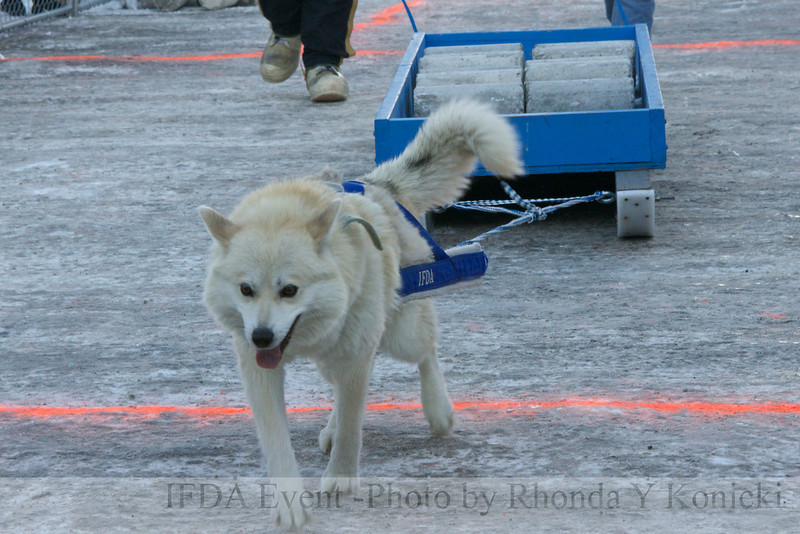 2013 IFDA Weight Pull<br /> March 16 Downtown Fairbanks<br /> 13ULMarch_82 --Thor with handler Dan