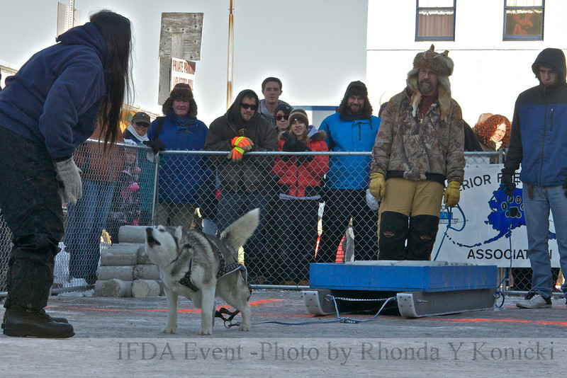 2013 IFDA Weight Pull<br /> March 16 Downtown Fairbanks<br /> 13ULMarch_98 Shadow with handler Wendy
