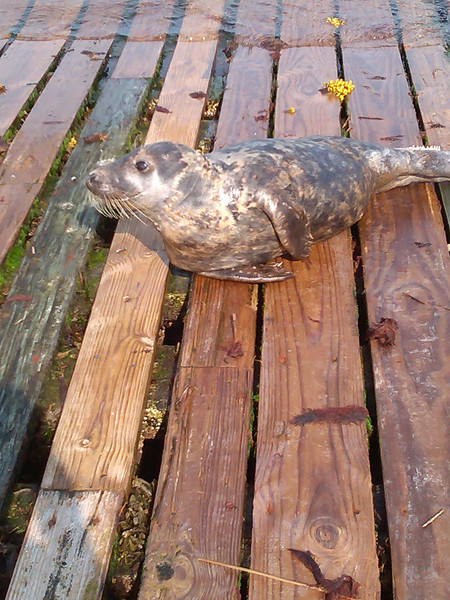 Sammy the seal showed up a few times and would not leave the ramp even for an arriving boat.