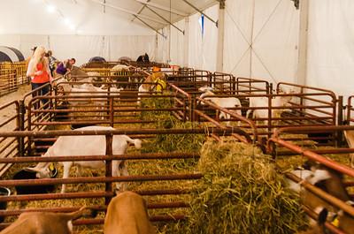 State Fair - Livestock