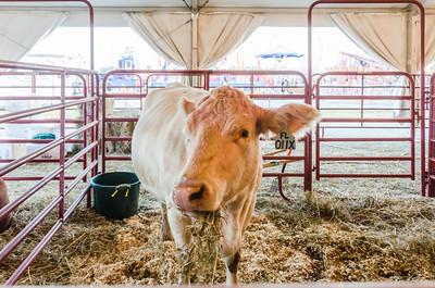 State Fair - Cow