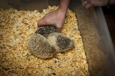 Open House (01/26/2013) What can be better than learning about and playing with hedgehogs in front of the fire on a cold January day?