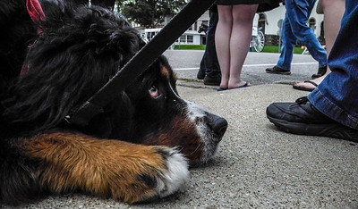 Samson waits patiently for the OK to get up and grab the treat while the hustle and bustle continues around him at the Jazz on Jefferson 2013 event.