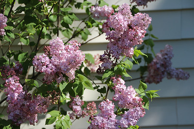 The Lilac bush behind our house.