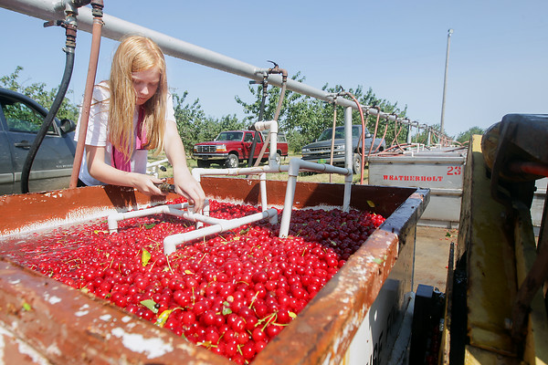 Record-Eagle/Keith King<br /> Katherine Weatherholt, 12, places a coil, which has a hose attached to it, into a tank of tart cherries so that water can cool the cherries after they are harvested at Weatherholt Farms on Old Mission Peninsula.